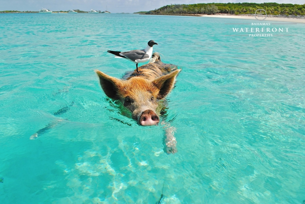 Swimming Pigs and Luxury Yachts happily coexist in the Out Islands.